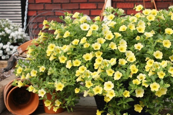Требовательный цветок калибрахоа