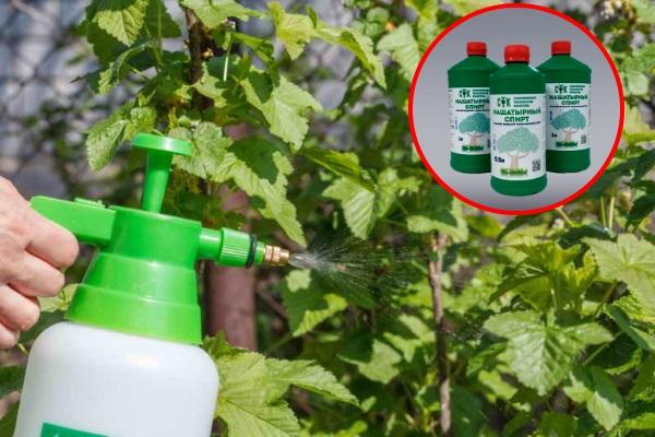 Опрыскивание смородины раствором с нашатырным спиртом