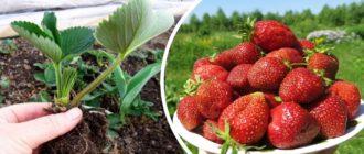 Пересадка клубника и хороший урожай