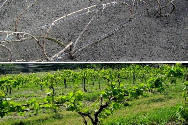 Подвязывание винограда