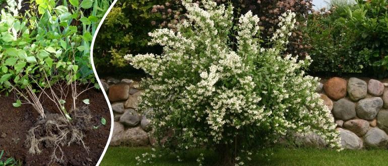 Как правильно посадить и вырастить жасмин?