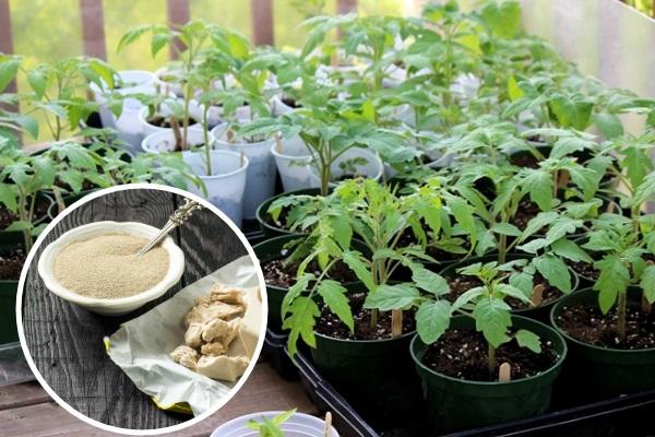 Удобрение из дрожжей для рассады помидор