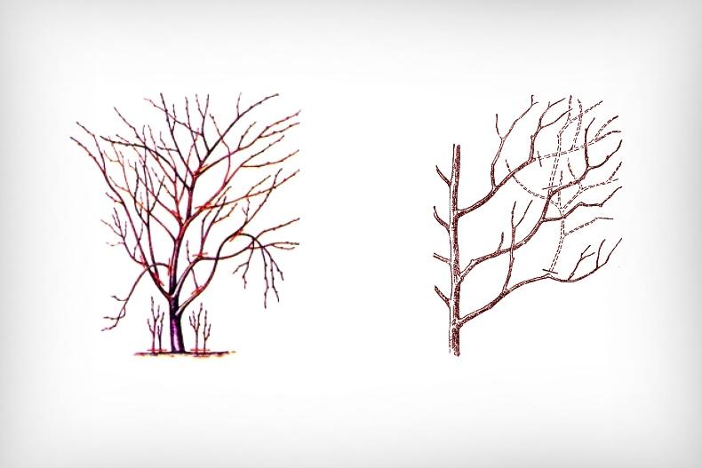Обрезка плодоносящего дерева
