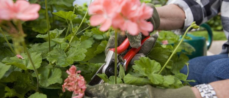 Как правильно обрезать герань для пышного цветения? Пошаговые инструкции