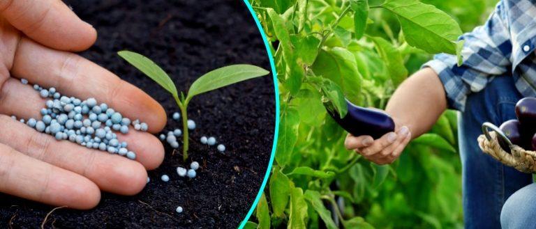 как подкормить рассаду луковым отваром