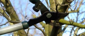 Обрезка дерева весной