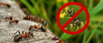 Избавиться от муравьев в саду