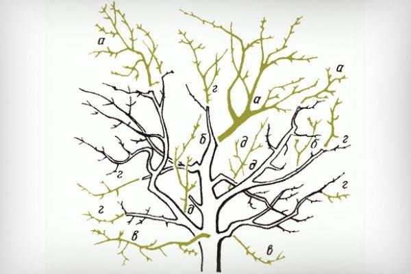 Омолаживающая обрезка дерева