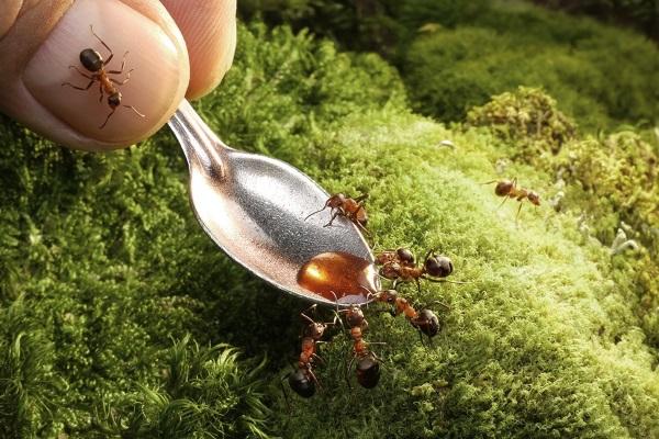 Концентрированный сахарный сироп в борьбе с муравьями