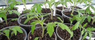 Плохой рост рассады помидор