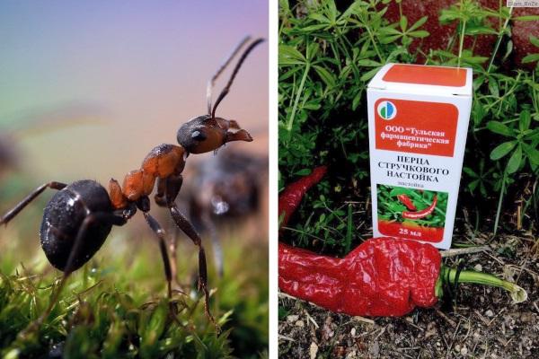 Настойка перца жгучего от муравьев в саду