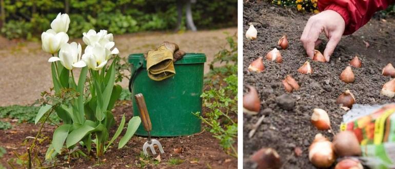 Сажать тюльпаны весной