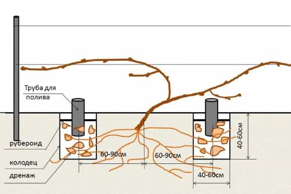 Внесение удобрений и полив винограда через вкопанную трубу