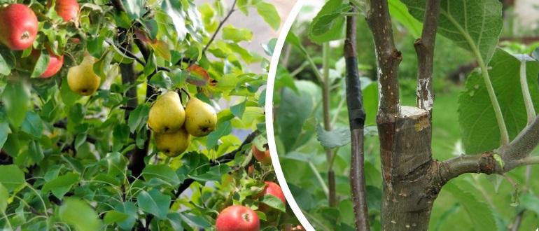Как прививать яблоню на грушу?